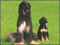 Клонирована собака